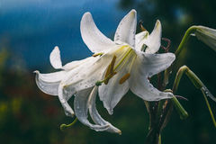 White lilies in the rain Stock Photography