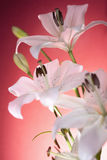 White lilies on a red background Royalty Free Stock Photo