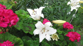 White lilies with red cranesbill Stock Photo