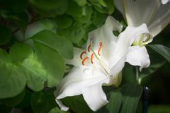 White lilies. Surrounded by green leafs Stock Photo