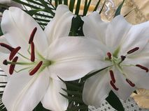 White Lilies. Two white lilies close-up Royalty Free Stock Images