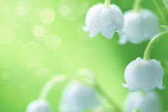 White lilies of the valley in the dew Royalty Free Stock Image