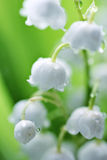 White lilies of the valley in the dew. Macro of a white lilies of the valley in drops of morning dew Stock Photo