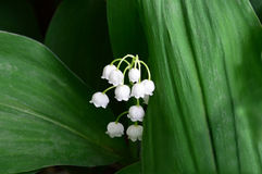 White lilies of the valley. Flowers.Closeup. White lilies of the valley. Flowers. Large green leaf. A series of images stock image