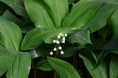 White lilies of the valley. Flowers.Closeup. White lilies of the valley. Flowers. Large green leaf. A series of images stock photo