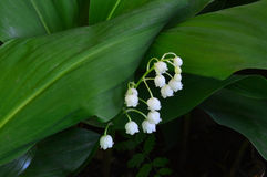 White lilies of the valley. Flowers. Large green leaf stock photos