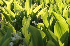 White lilies of the valley on a glade in the forest, sunny day. Kiev stock image