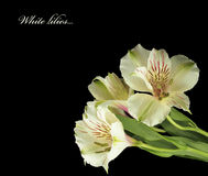 White lilies with water drops. Stock Photography