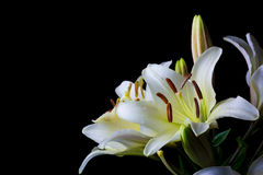 White lilium flower on black background close-up. Side horizontal view Stock Images