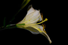 White lilium flower on the cut on black background. Close-up side horizontal view Royalty Free Stock Image