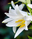 White Lilium flower (members of which are true lilies) Royalty Free Stock Images