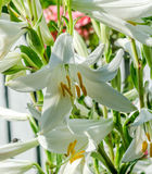 White Lilium flower (members of which are true lilies) Stock Image