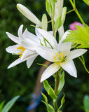 White Lilium flower (members of which are true lilies) Royalty Free Stock Photography