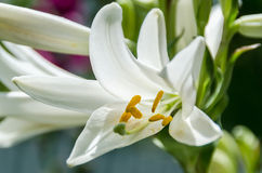 White Lilium flower (members of which are true lilies). Close up Royalty Free Stock Photography