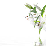White lilium flower - SPA design background royalty free stock images