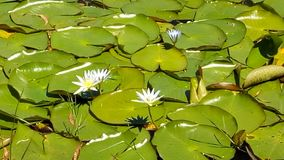 Lusrous Lily. White liliy plants exhibit robust growth with round and leathery leaves royalty free stock image