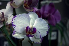White and lillac orchid Stock Photo