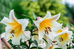 White lillies. Lilium candidum (popularly known as the Madonna Lily) is a plant in the genus Lilium, one of the true lilies. It is native to the Balkans and West Stock Photography