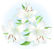 White lilly Royalty Free Stock Photos