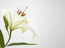 White lilly. A photography of a beautiful white lilly stock image