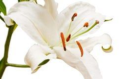 White lilly. On the white background Stock Photos
