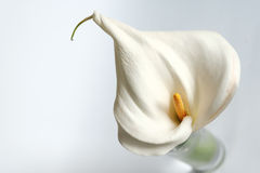 White lilly. On a white background Royalty Free Stock Photography