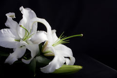 White lilly on black. Background royalty free stock image