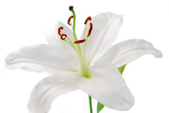 White Lilly flower Stock Photos