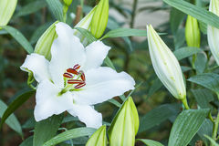 White lilly flower Stock Photography