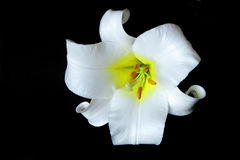 White lilly lilium on black Royalty Free Stock Images