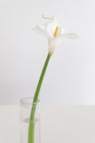 White lilly. White lily on a white table Royalty Free Stock Photo