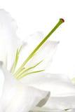 White lilly macro on white  background Stock Photo