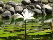 White Lilly. Nymphaea alba, also known as the European white water-lily, white water rose or white nenuphar, is an aquatic flowering plant of the family royalty free stock images