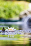 White lilly pad in contre jour Concept: Meditation, SPA, relaxation Stock Photo