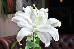 White Lilly. Single large white Lilly flower stock images