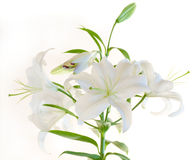 White lily. Isolated on white Royalty Free Stock Photography