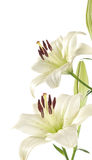 White lily. Isolated on white background Stock Images