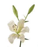 White lily. Isolated on white background Royalty Free Stock Photography