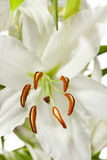 White lily. Lily flower color image close-up Royalty Free Stock Photography
