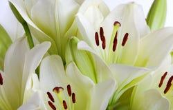 White Lily. Flowers on white background studio shot Royalty Free Stock Photos