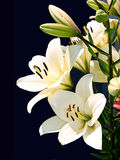 White lily Royalty Free Stock Photography