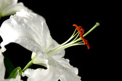 White Lily. Flowers Stock Image