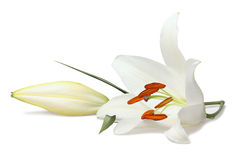 White lily Stock Photo