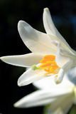 White lily. Illuminated by the sun Royalty Free Stock Photo