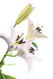 White lily. Isolated on a white background Stock Photos