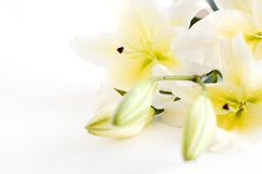 White lily. On a white background Stock Photos