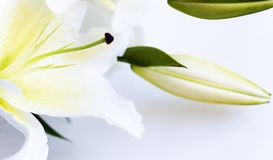White lily. On white background Stock Photography