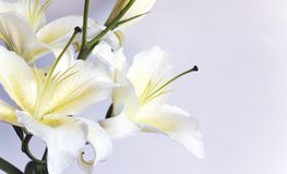 Free White Lily Royalty Free Stock Images - 3398649