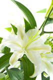 White lily. Royalty Free Stock Photography