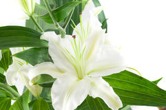 White lily. Stock Photo